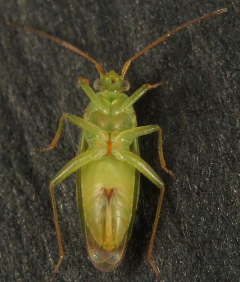 Unknown Miridae