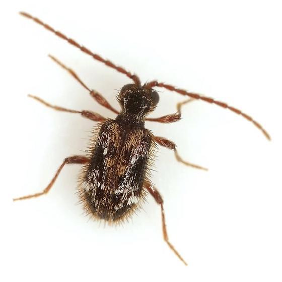Ptinus tumidus Fall - Ptinus tumidus - male