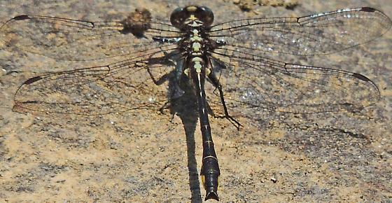Rapids Clubtail - Phanogomphus quadricolor