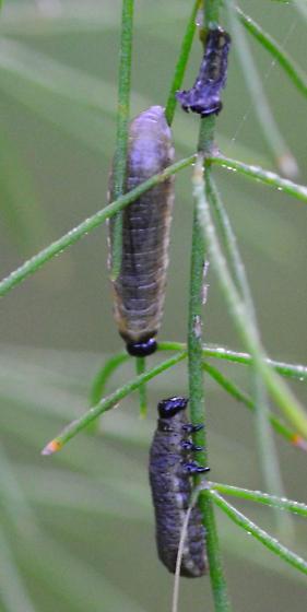 gray sawfly? larvae - Crioceris asparagi