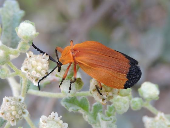Beetle - Lycus fernandezi