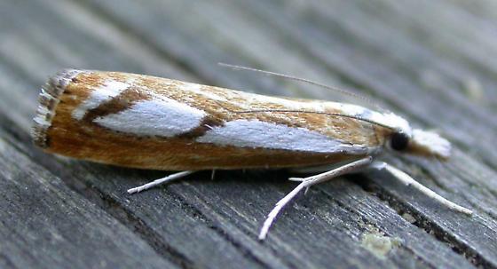 5408 Catoptria latiradiella - 3-spotted Crambus - Catoptria latiradiellus