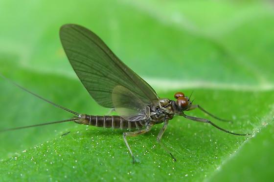 Stream Mayfly  - Epeorus pleuralis