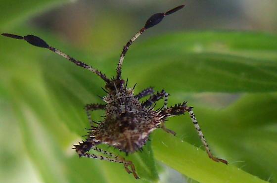 Spiny bug - Euthochtha galeator