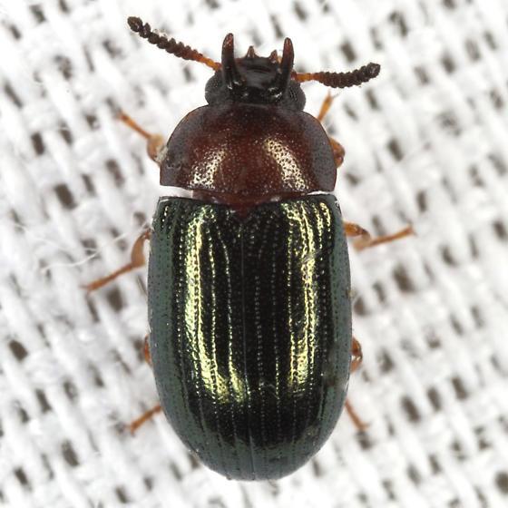 Darkling Beetle - Neomida bicornis - male