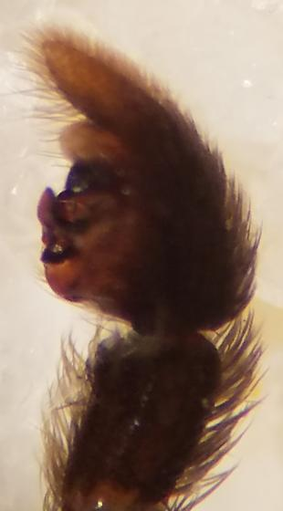 Left Palp Retrolateral - Pardosa pauxilla - male