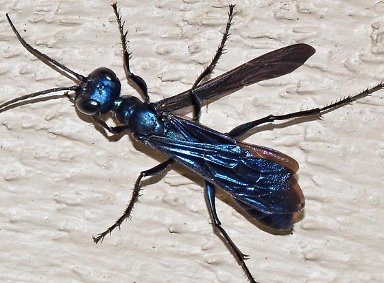 one wing - Chlorion aerarium