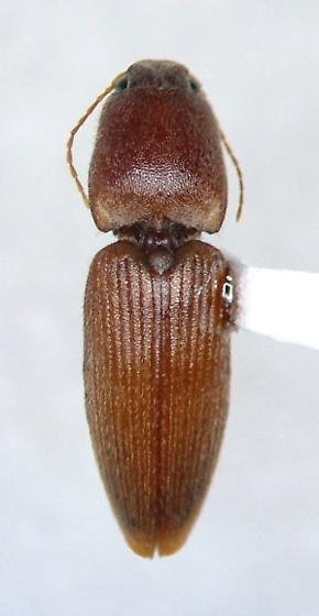 clicker - Conoderus scissus - female