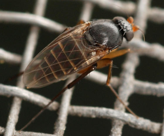 scuttle fly - Dohrniphora