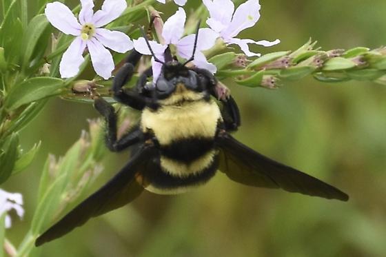 Bombus auricomus? - Bombus auricomus - female