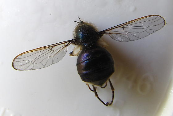 Beefly - Eulonchus tristis