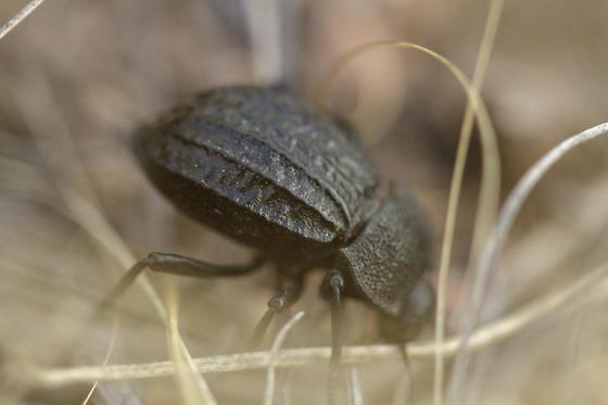 Beetle - Philolithus sordidus
