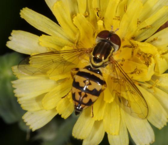 Syrphid fly - unknown genus  - Toxomerus geminatus