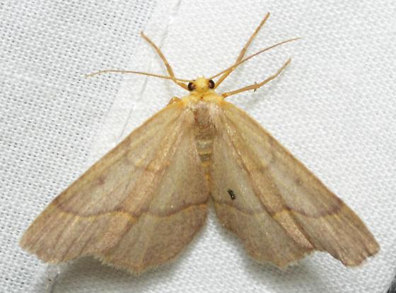Lambdina fiscellaria