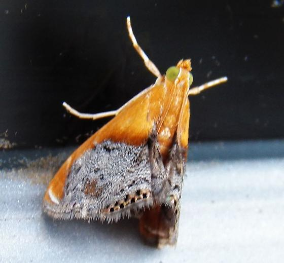 Moth 052118bar - Chalcoela iphitalis
