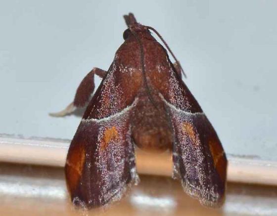 Moth - Penthesilea sacculalis