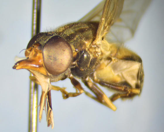 Syrphid - Rhingia nasica - female