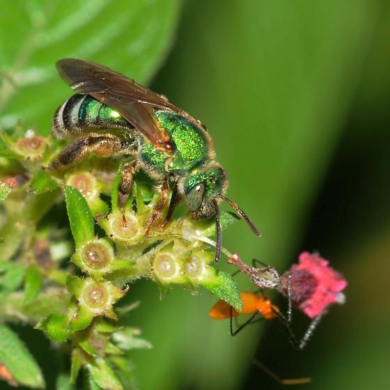 Little Green Bee - Agapostemon splendens