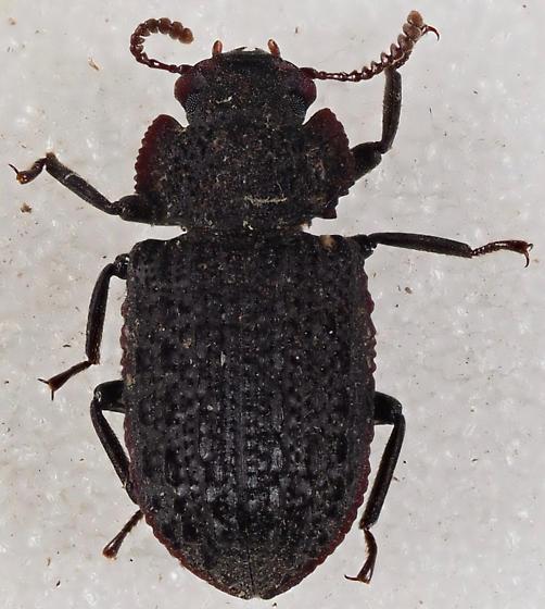 Tenebrionidae Bolitophagini? - Bolitophagus corticola
