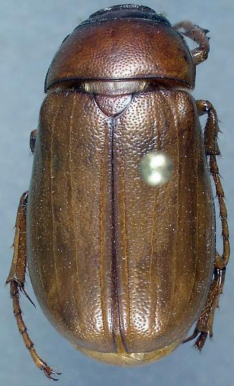 Phyllophaga uniformis - male