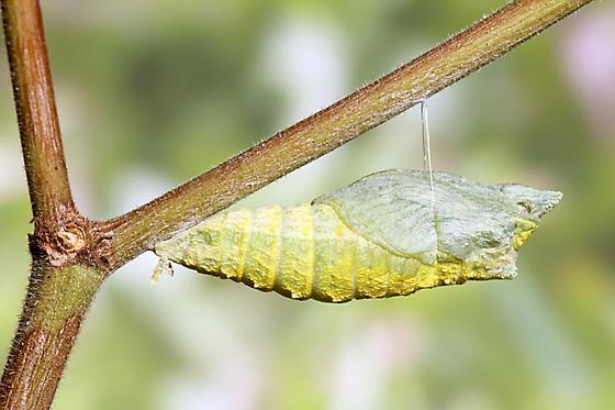 Black Swallowtail - Final Instar - Papilio polyxenes - female
