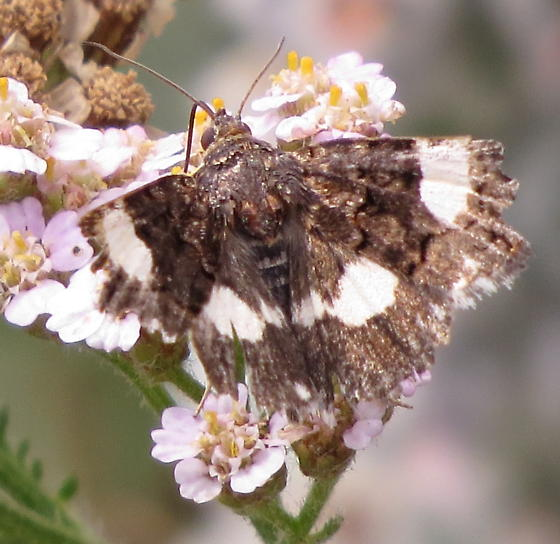 Four-spotted Moth - Tyta luctuosa? - Tyta luctuosa