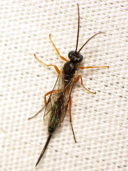 Ichneumonid ID Req - female