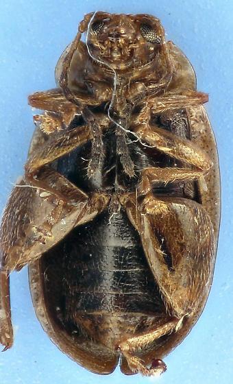 Flea Beetle - Capraita circumdata