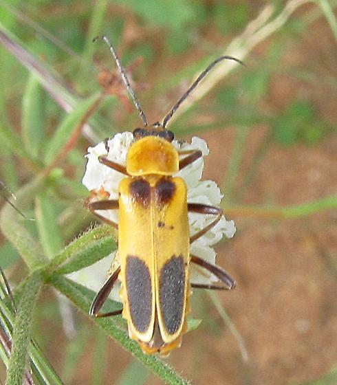 Chauliognathus omissus