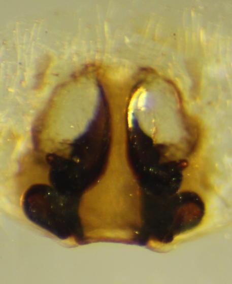 Philodromus praelustris - female