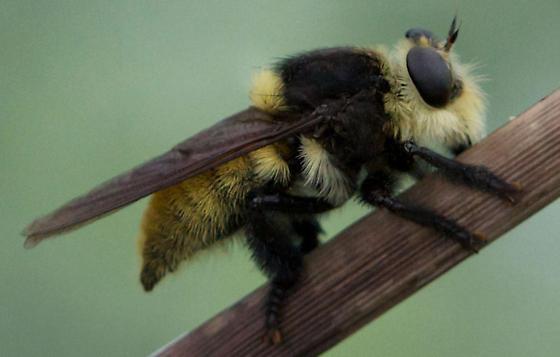 Bee-mimic robber fly - Mallophora fautrix