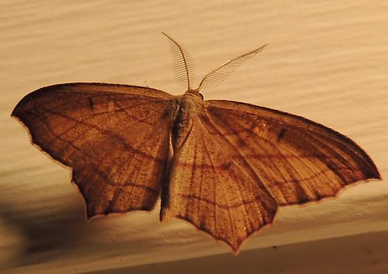 cross-lined wave - Timandra amaturaria - male