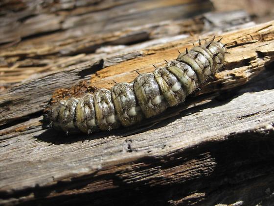 caterpillar - Coloradia pandora