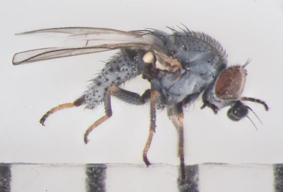 Chamaemyiidae, lateral - Leucopis