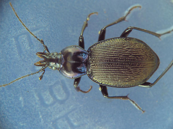 slug eater - Sphaeroderus stenostomus