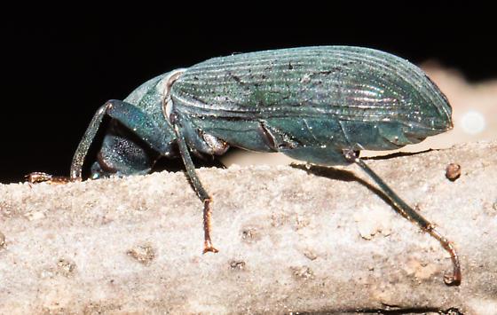 Brown-eyed gray beetle - Xylopinus saperdoides