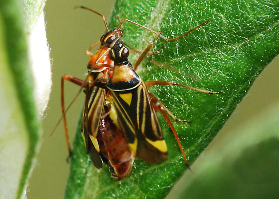 Closterocoris amoenus, mating pair - Closterocoris amoenus
