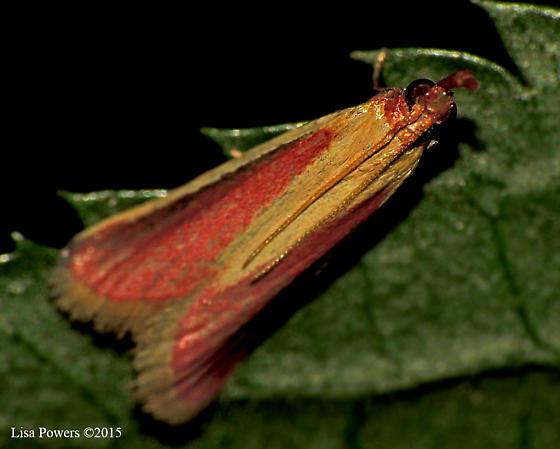 Carmine Snout Moth - Peoria approximella - Peoria approximella
