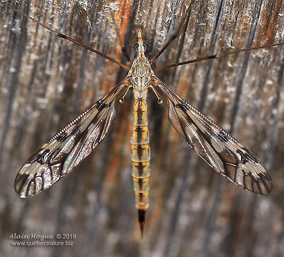 Tipulomorpha - Tipula - female