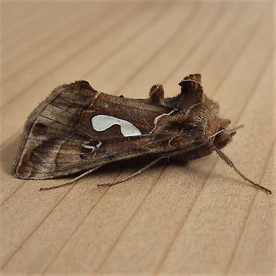 Noctuidae: Megalographa biloba - Megalographa biloba