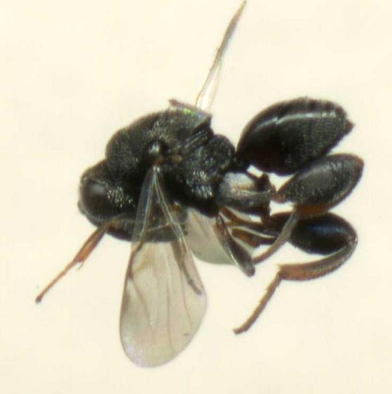 Chalcid Wasp - Hockeria - male