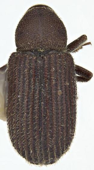 Scierus pubescens