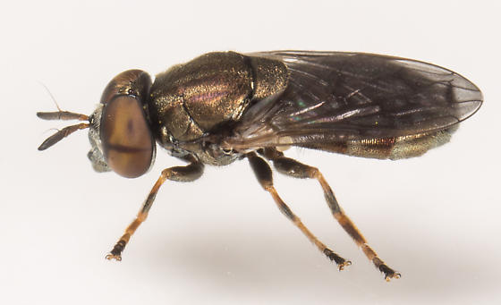 Fly - Orthonevra pulchella - male