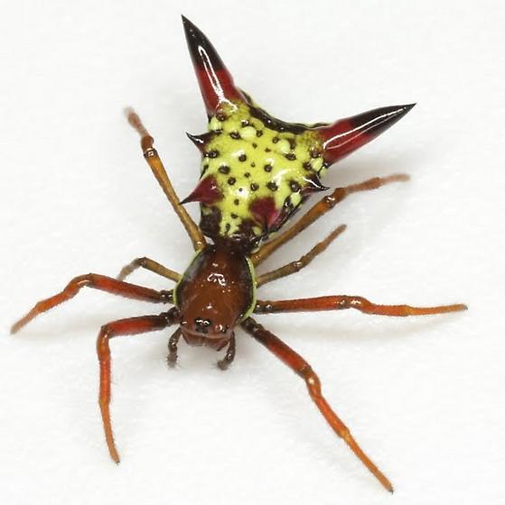Micrathena sagittata - female