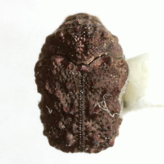 Exema gibber (Fabricius) - Exema gibber