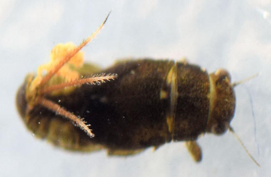 spiny crawler mayfly nymph - Serratella
