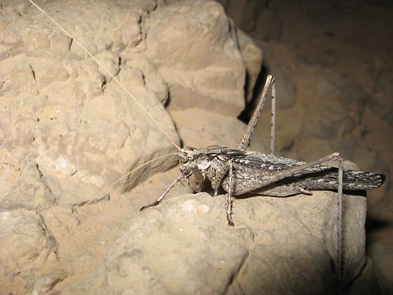 Sooty winged katydid - Capnobotes fuliginosus - male