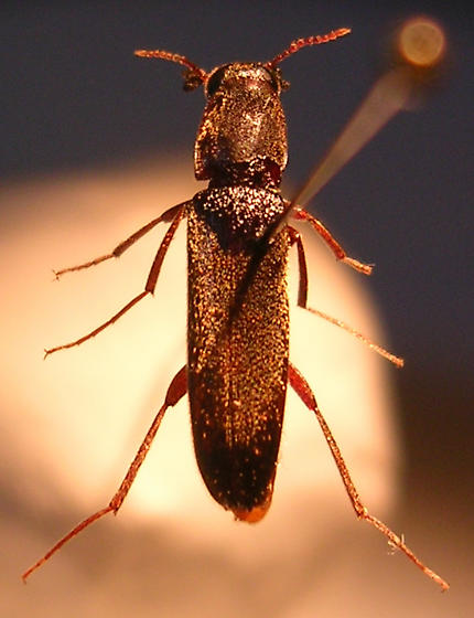 unknown beetle - Melittomma sericeum