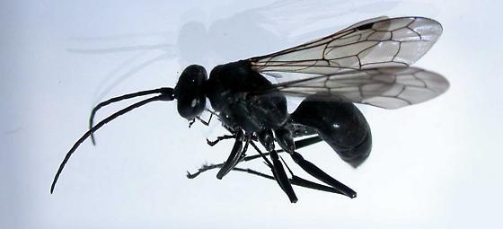 small black wasp - Auplopus carbonarius - female