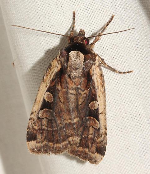 Noctuidae, Sigmoid Dart  - Eueretagrotis sigmoides